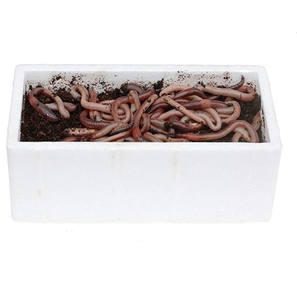 48 kanadische Tauwürmer in Styroporbox