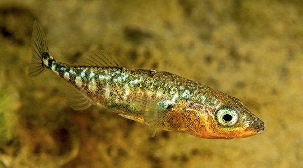 Der Dreistachlige Stichling - Fisch des Jahres 2018 (© Herbert Frei)