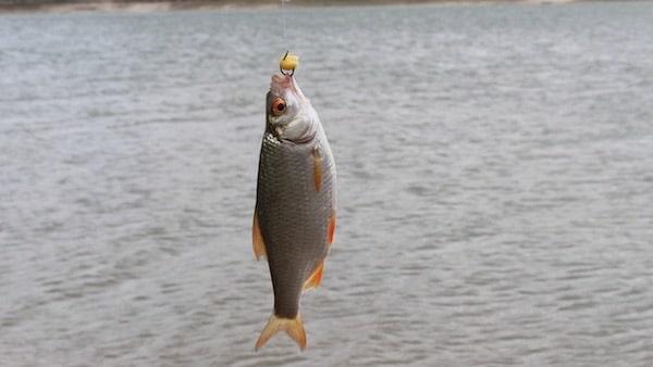 Was sind Friedfische