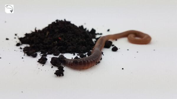 Tauwürmer zum Angeln könnten in der Krise rar werden.